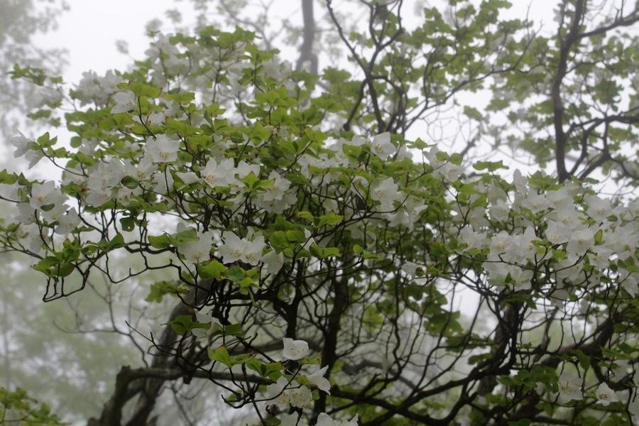 Mt. Hinokiboramaru's famous rhododendron quinquefolium