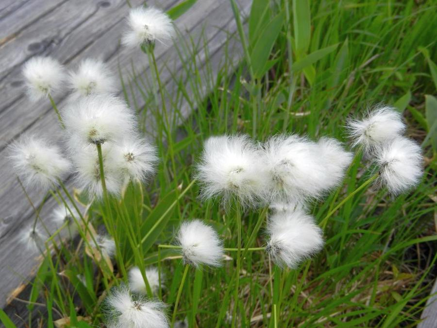 Ears of the wetland's tussock cottongrass