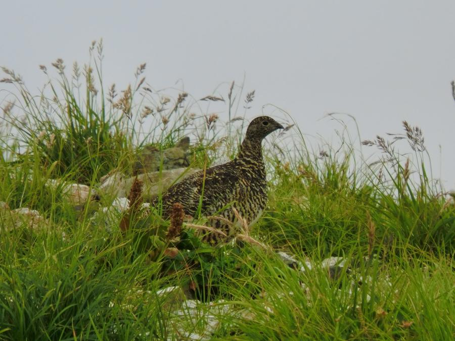 Japanese ptarmigan, a protected species, inhabits Mt. Hakuba