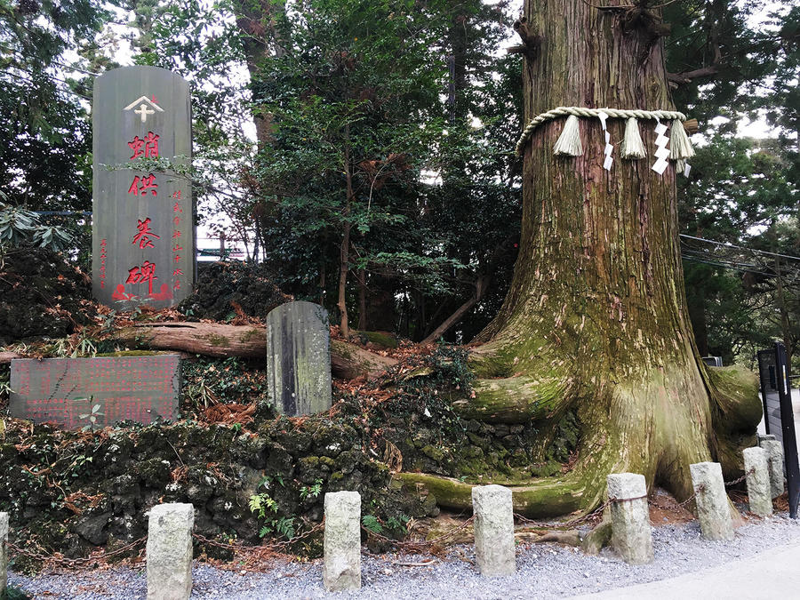 The Tako (octopus) Sugi cedar is over 450 years old. Its trunk is about 6 meters around.