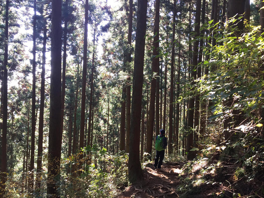 Walking through a fabulous cedar forest. The trail is maintained and easy to follow.