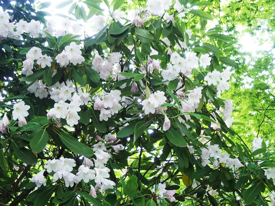 "Shakunage, a rhododendron species, blooms in the spring. It's known as the ""queen of flowering trees."""