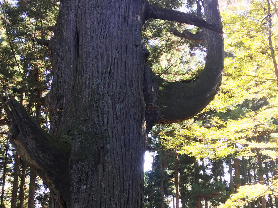 The Tengu-no-Koshikake Sugi cedar. Legend says  a tengu (goblin) sat on its curved branch.
