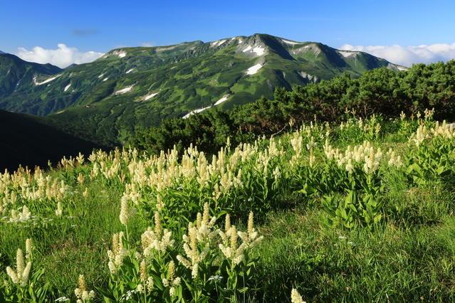A cluster of kobaikeiso (Veratum staminem) and Mt. Mitsumata-renge.