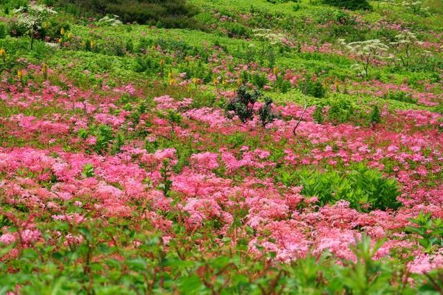 A meadow of shimotsukeso (Filipendula multijuga) near the summit.