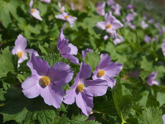 The Shirane aoi (Glaucidium palmatum) takes its name from Mt. Nikko Shirane.