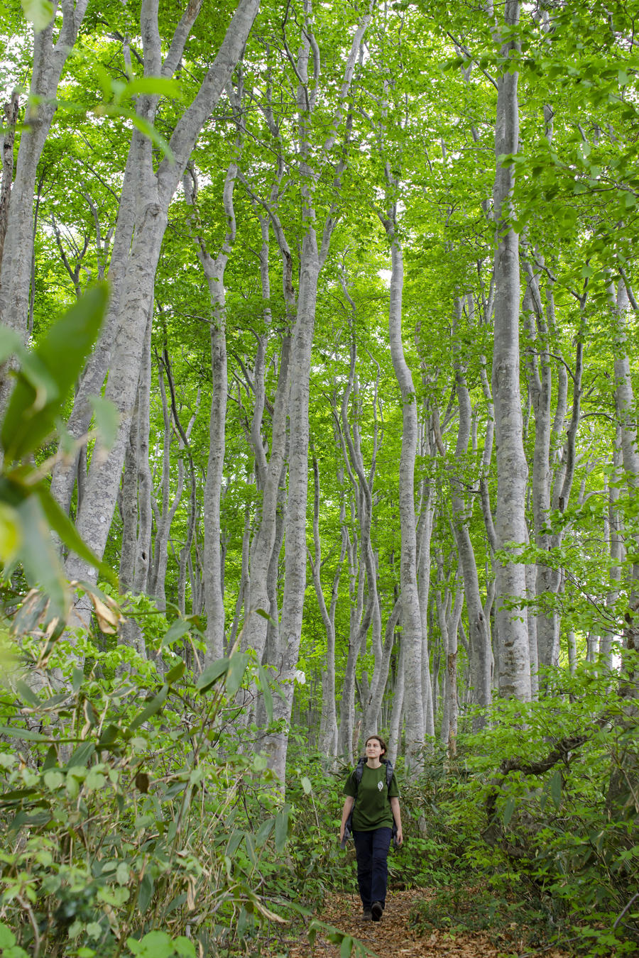 Fresh green beech forest ( Photo by NPO Shin-etsu Trail Club )